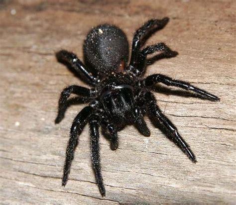 funnel web spider hadronyche modesta