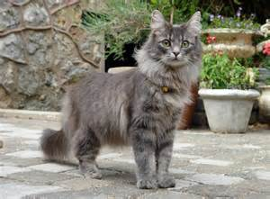 forest cat forest cat cat breed information buying advice