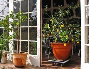Tailler Un Citronnier : taille du citronnier oranger et agrumes quand et ~ Melissatoandfro.com Idées de Décoration
