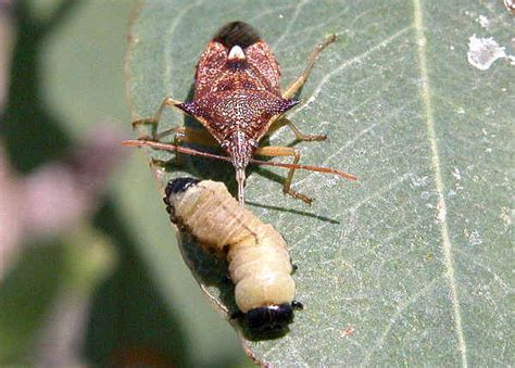 spined predatory shield bug oechalia schellenbergii