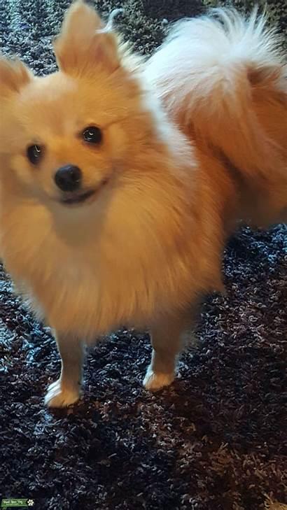 Pomeranian Teacup Dog Breed Dogs