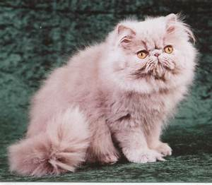 Lilac Persian cat | I Love Animals | Pinterest | Persian ...