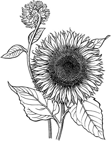 sunflower  blooming coloring page  print  coloring pages   color nimbus