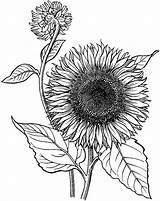 Sunflower Coloring Pages Drawing Line Printable Blooming Drawings Adult Flower Sunflowers Realistic Sheets Draw Sketch Colors Children Mandala sketch template