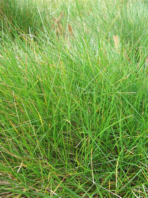 types of fescue grass short fescue gallery