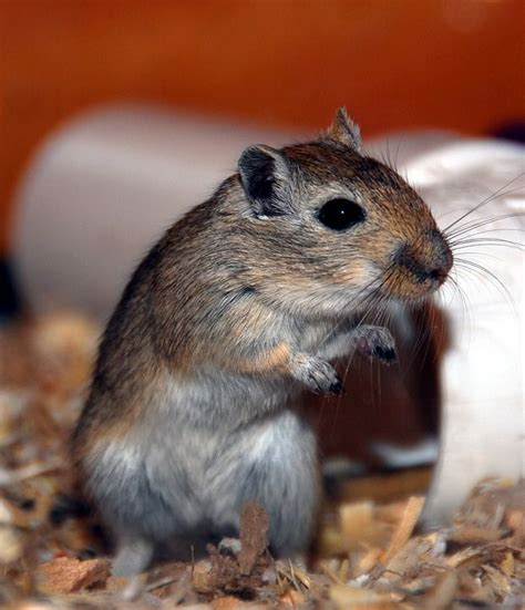 tips on choosing gerbil toys