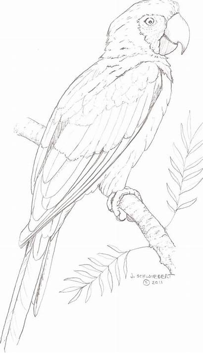 Macaw Coloring Adults Colouring Drawing