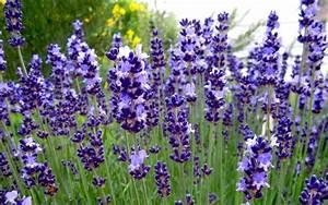 Lavendel Sorten übersicht : lavendel 39 contrast 39 pflanze lavandula angustifolia lavendel labkraut lungenkraut ~ Eleganceandgraceweddings.com Haus und Dekorationen