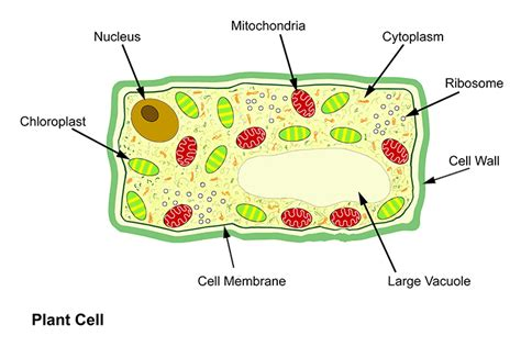 basic structure   plant  animal cell introduction