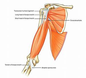 Easy Notes On  U3010muscles Of The Upper Arm U3011learn In Just 3