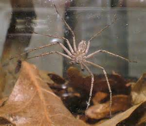West Virginia Spider Species