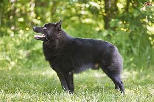 Schipperke Dog Breed Information, Buying Advice, Photos ...