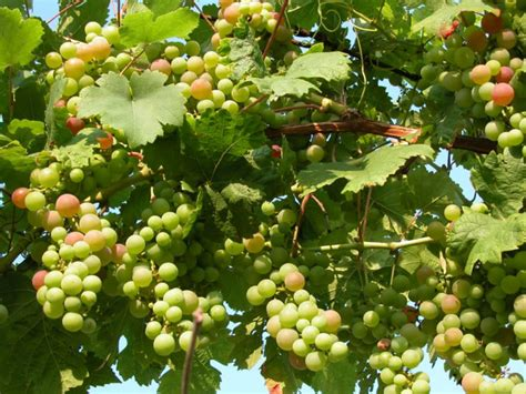 grape vine care and maintenance how to grow and care for grapevines vitis vinifera world of flowering plants