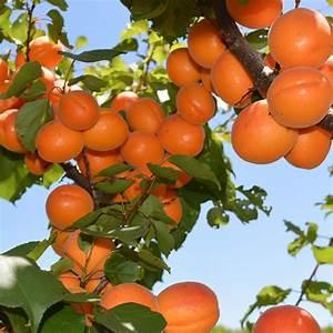 Fruit Tree Nursery Melbourne   Fruit Trees for Sale   Buy ...