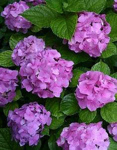 Wann Pflanzt Man Hortensien : die besten 25 hortensien beschneiden ideen auf pinterest hortensien garten wann man ~ Yasmunasinghe.com Haus und Dekorationen