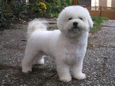Do Bichons Shed Hair by Bichon Frise Breed Standards