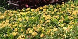 Dwarf Yellow Ixora