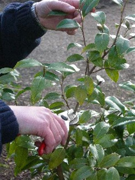 how to prune camellia tree kb results trehane nursery