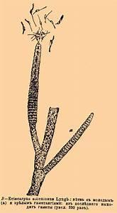 Ectocarpus