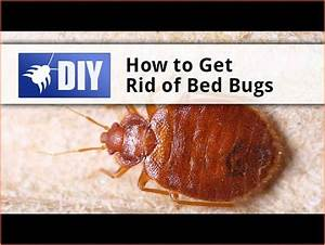 10 best rats images on pinterest pest control rodents With how to get rid of bed bugs in sofa