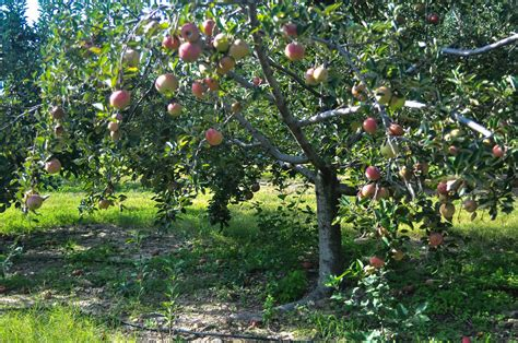 Apple Farm Trees Free Stock Photo - Public Domain Pictures