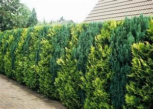 Blühende Hecke Schnellwachsend : lebensbaum hecke thuja occidentalis wirkt auch unbeschnitten terasse garten ~ Eleganceandgraceweddings.com Haus und Dekorationen