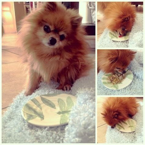 pom pom cuisine how much water should pomeranians drink