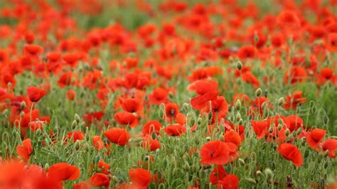 Field Of Poppies Uhd Wallpaper Hd