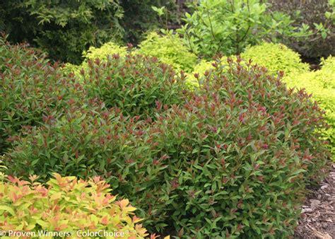 spirea plant double play 174 artisan 174 spirea spiraea japonica proven winners
