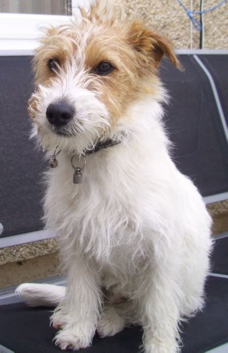 tully  month  male jack russell terrier cross