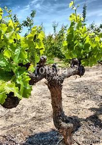 Achat Pied De Vigne Raisin De Table : pied de vigne photo libre de droits sur la banque d 39 images image 32145485 ~ Nature-et-papiers.com Idées de Décoration
