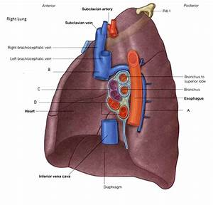 18  Lungs