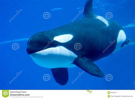 Underwater Killer Whale Stock Photo. Image Of Blue