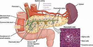 The Pancreas  Overview