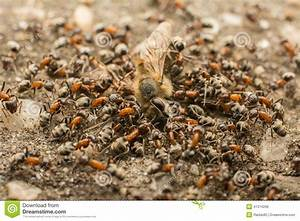 Was Essen Ameisen : ameisen schwarm der tote biene isst stockfoto bild ~ Lizthompson.info Haus und Dekorationen