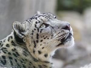 Snow leopard wild cat muzzle wallpaper   3800x2850 ...