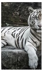 Japanese zookeeper attacked by rare white tiger - Asia Times