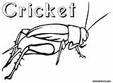 Cricket Coloring Pages Insect Drawing Crickets Print Results Getdrawings sketch template