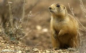 Gunnisons Prairie Dog