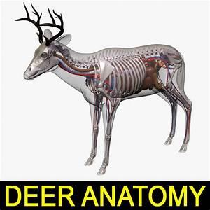 Deer Anatomy 3d