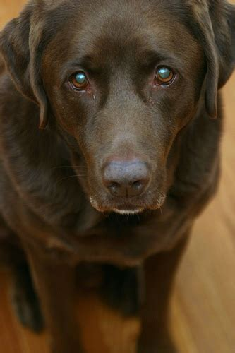 Big Round Sad Puppy Dog Eyes Flickr P O Sharing