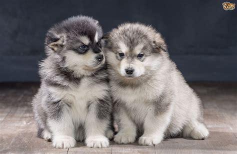 Alaskan Malamute Dog Breed Information Buying Advice
