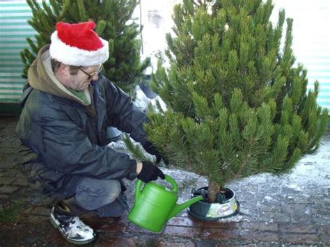 how to care for a fresh cut christmas tree for dummies