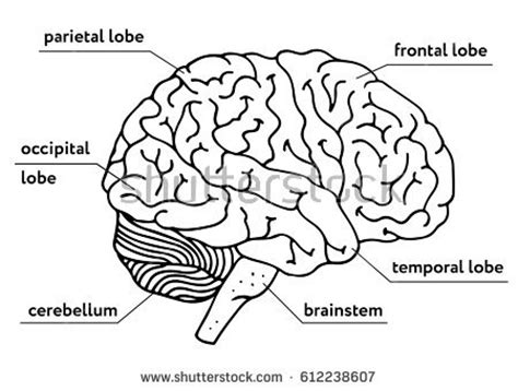 labeled brain black and white pineal gland labeled diagram stock illustration 166170098