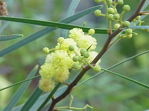 mimosa d 233 t 233 acacia retinodes taille bouturage entretien