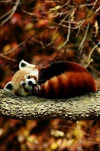 Sleepy red panda @Stun Wild | Lions & Tigers & Bears etc ...