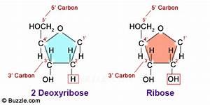 Ribose Vs  Deoxyribose