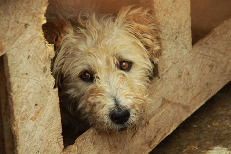 Thousands Of Romanian Dogs To Be Killed Guardians Of