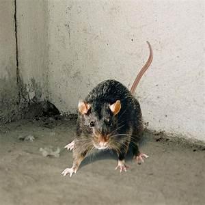 Ratten Bekämpfen Im Garten : ratten und m use erfolgreich bek mpfen ~ Michelbontemps.com Haus und Dekorationen