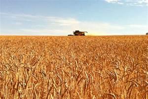 Biscuit wheat crop on Kangaroo Island - ABC News ...